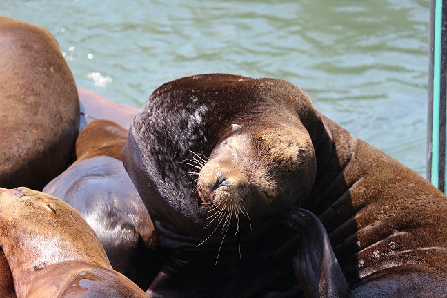 A sea lion in San Francisco's Pier 39