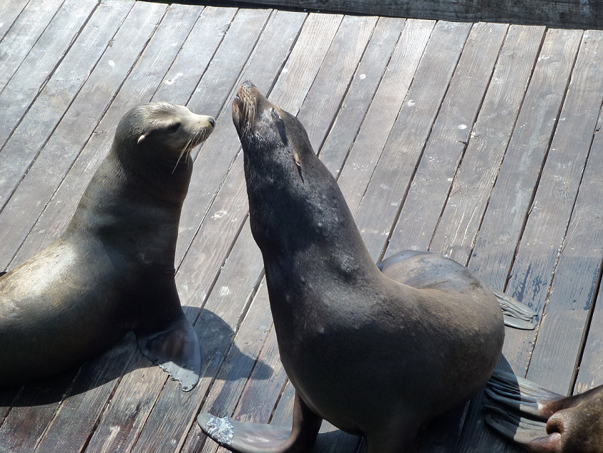 Sea lions strutting around San Francisco's Pier 39