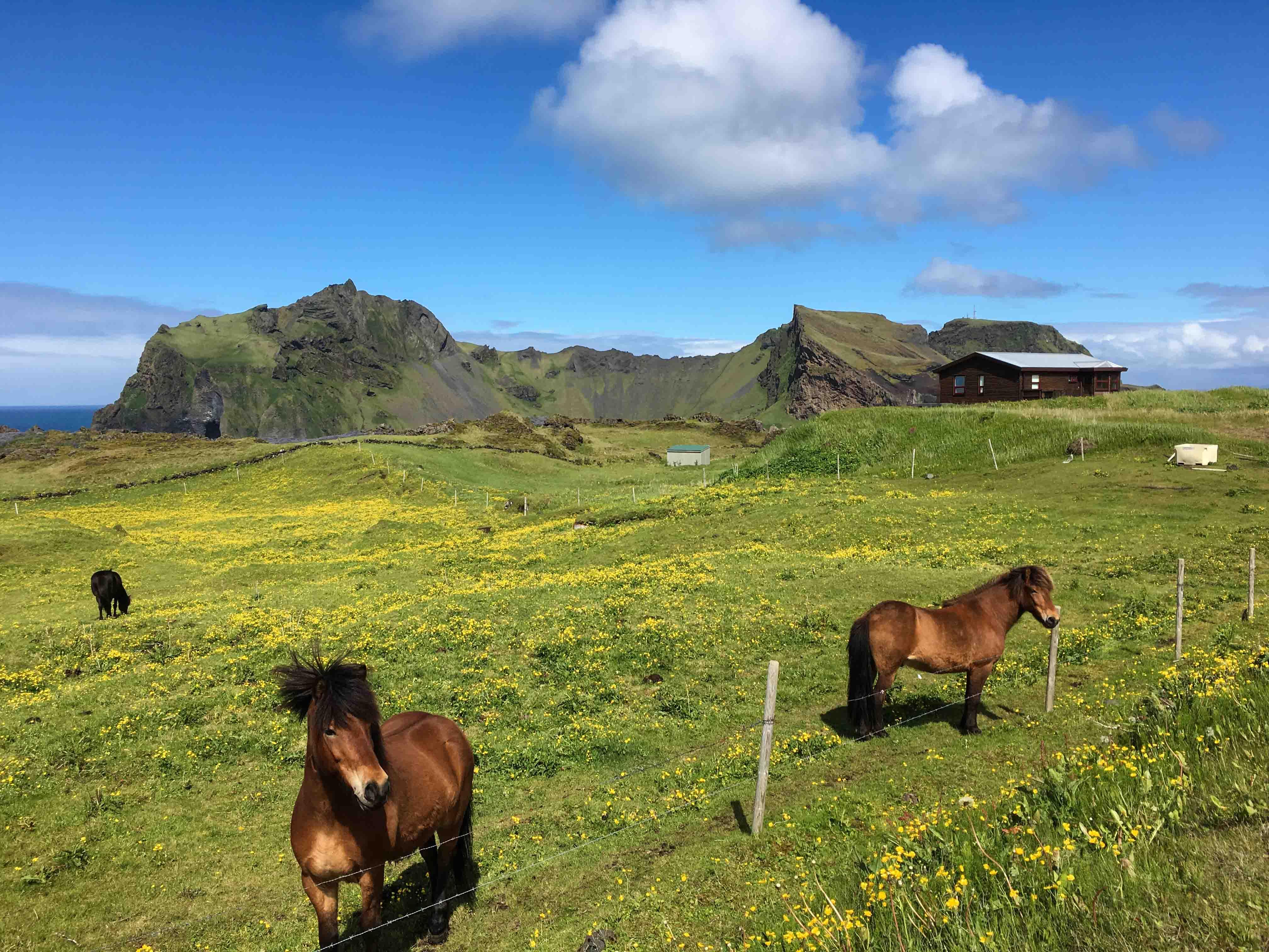 Icelandic horses in Heimaey