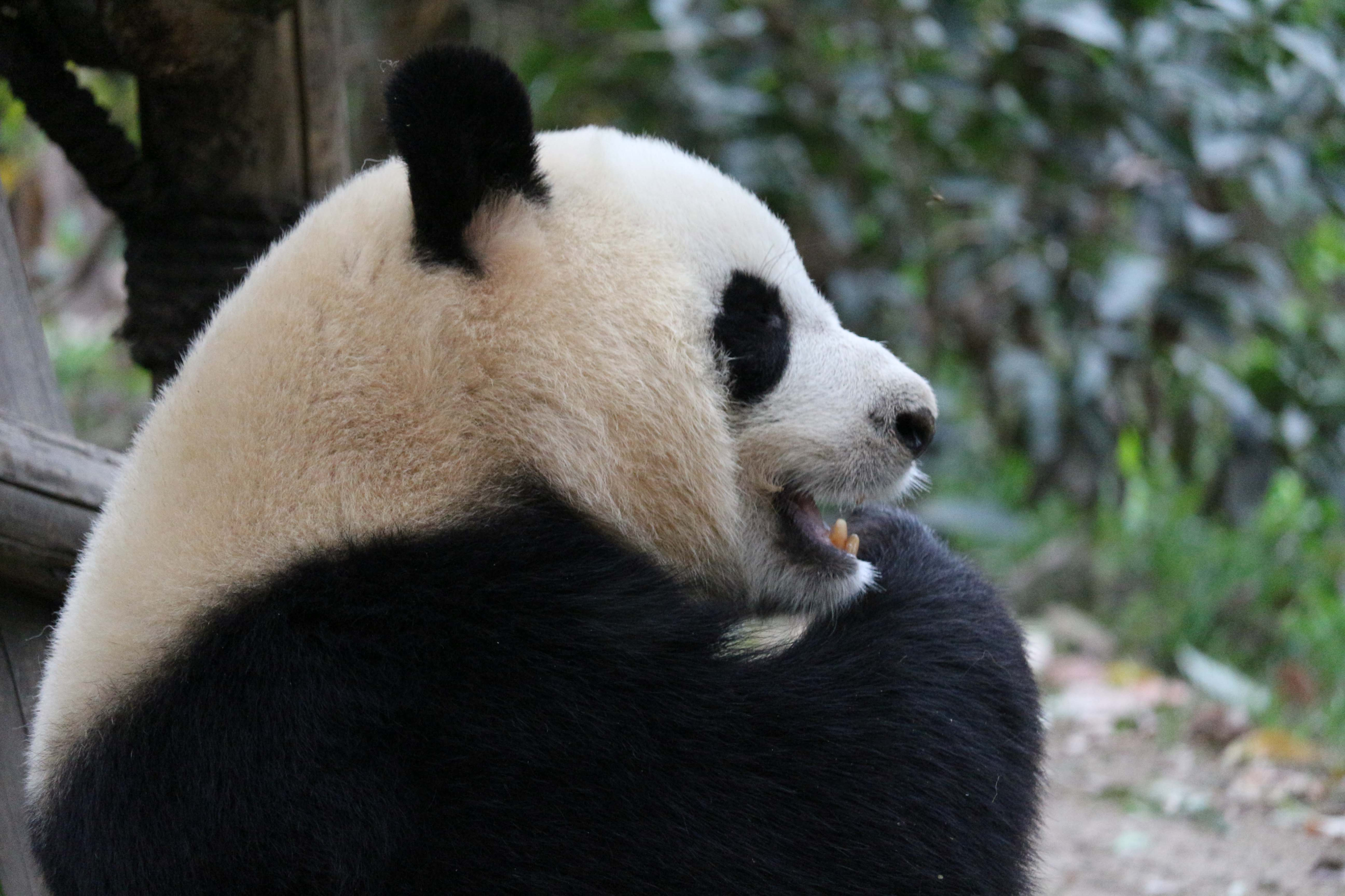 laughing panda in Chengdu