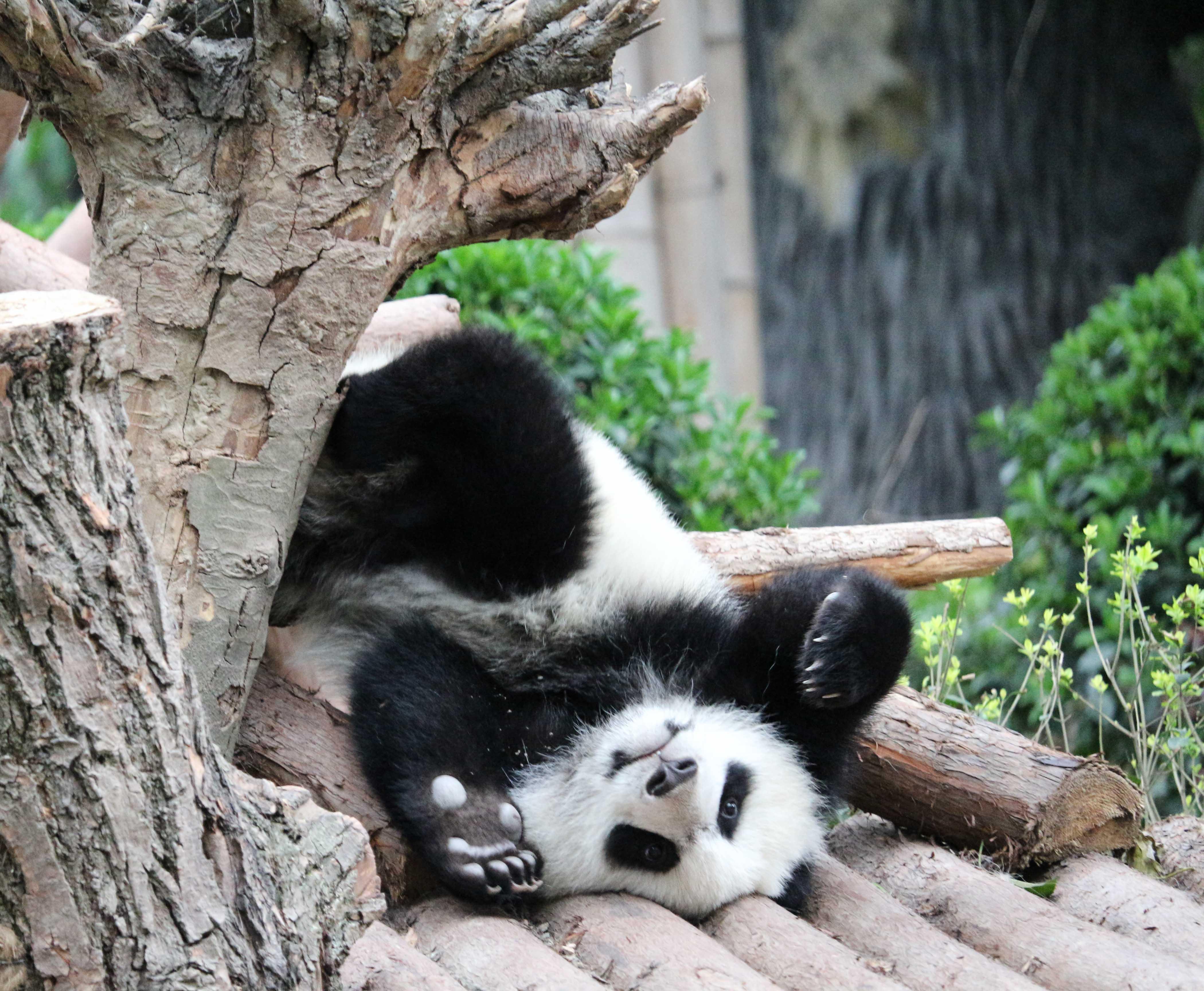 panda cub chengdu