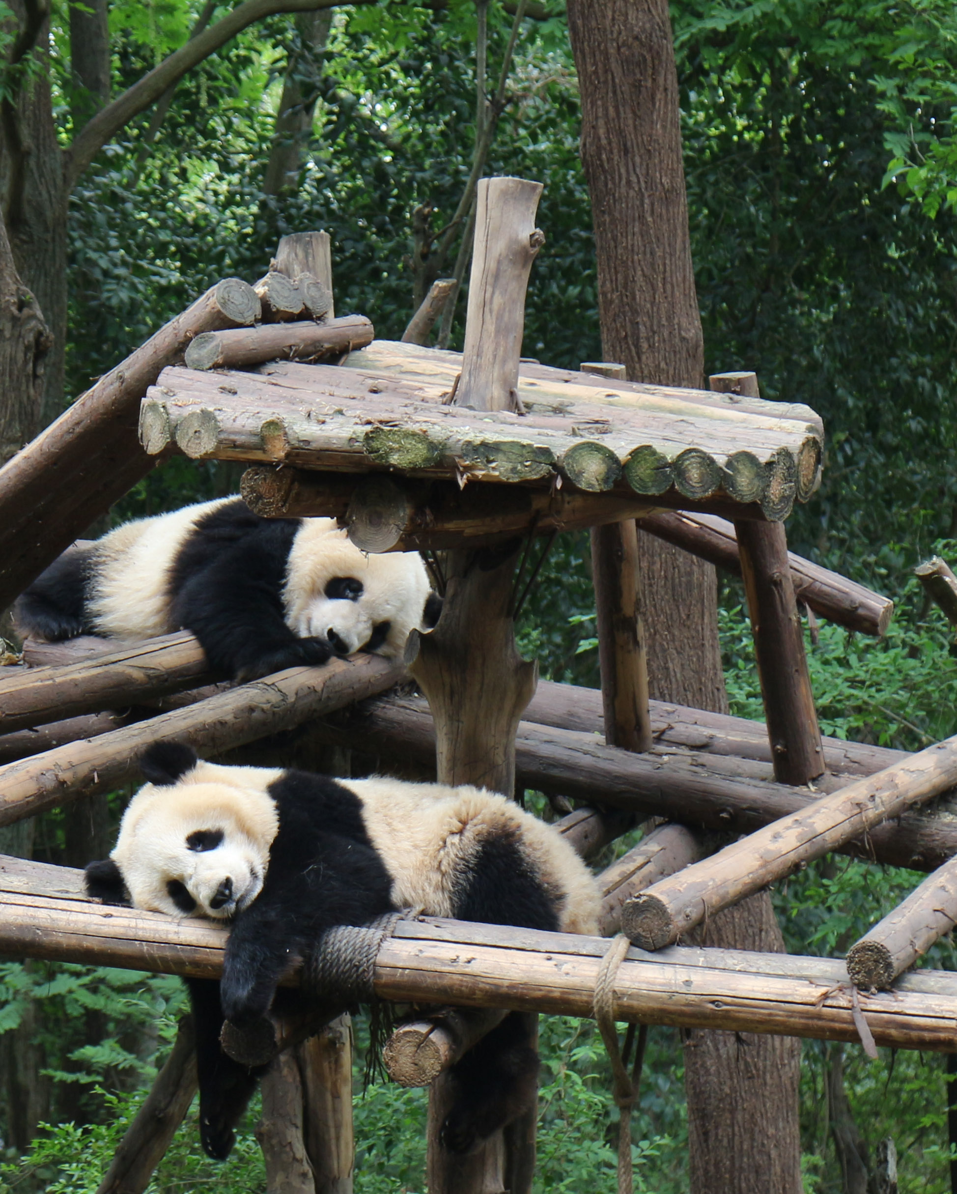 sleeping giant pandas
