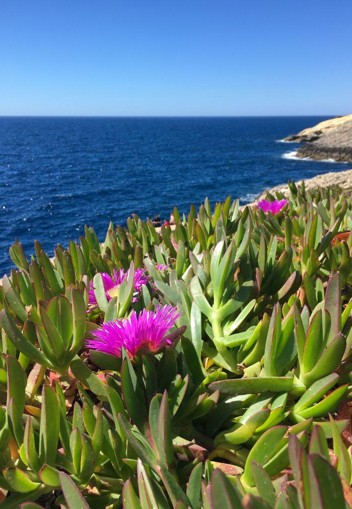 Carpobrotus edulis flowers in Wied iz-Zurrieq Malta