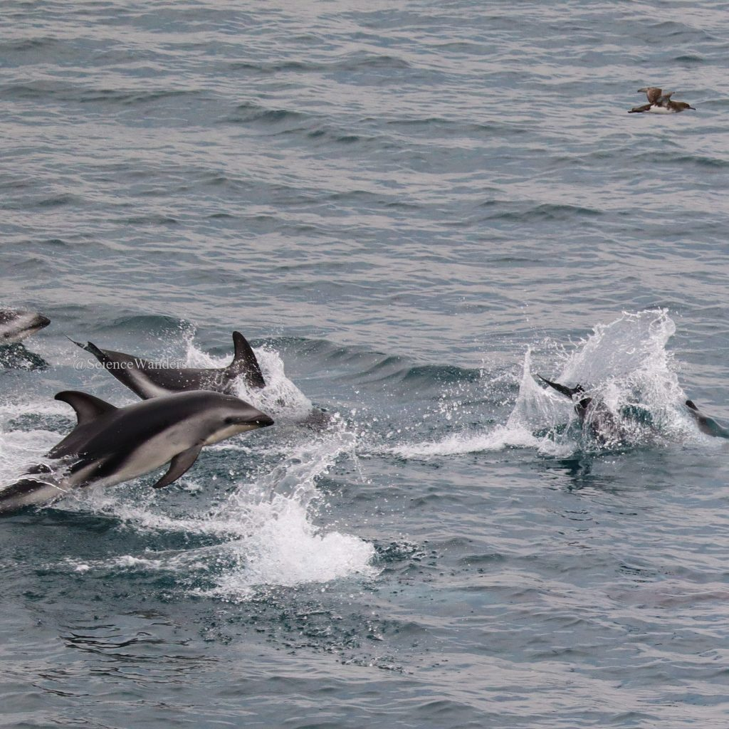 Dolphins on the way to the South Island