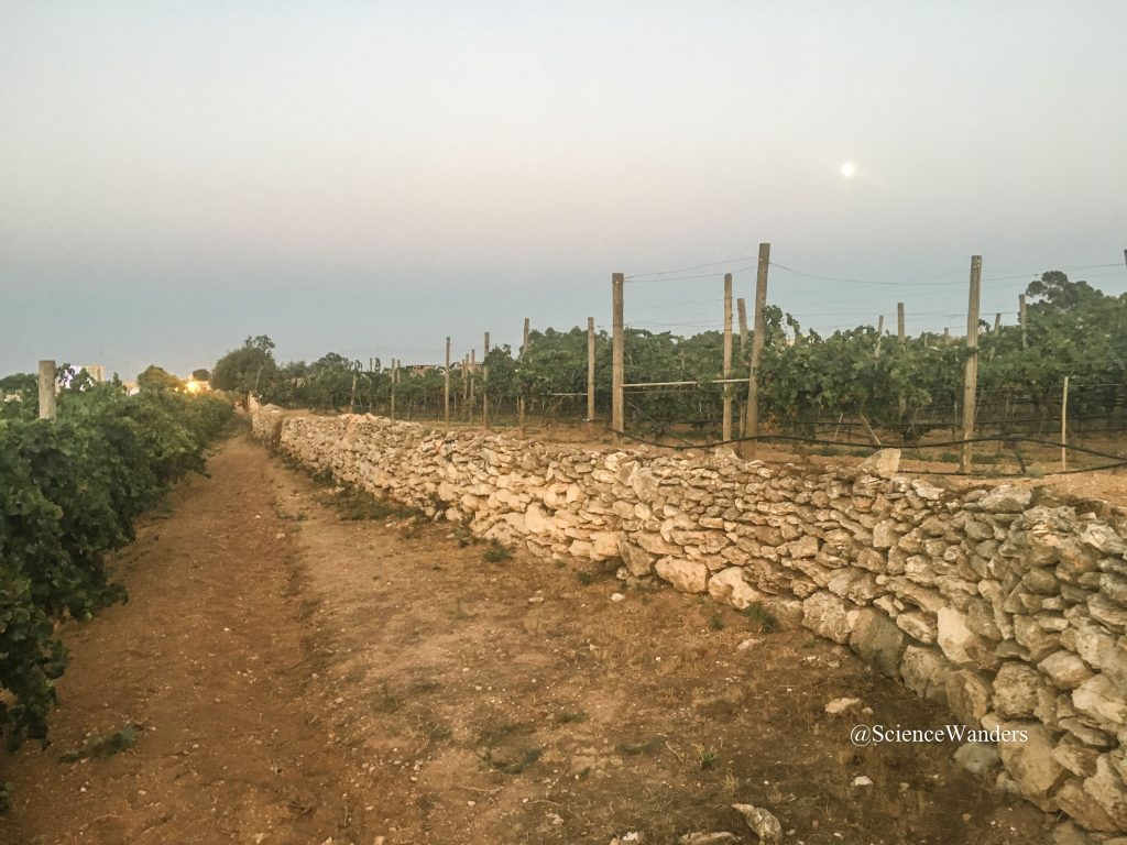 Soil in Marsaxlokk vineyard