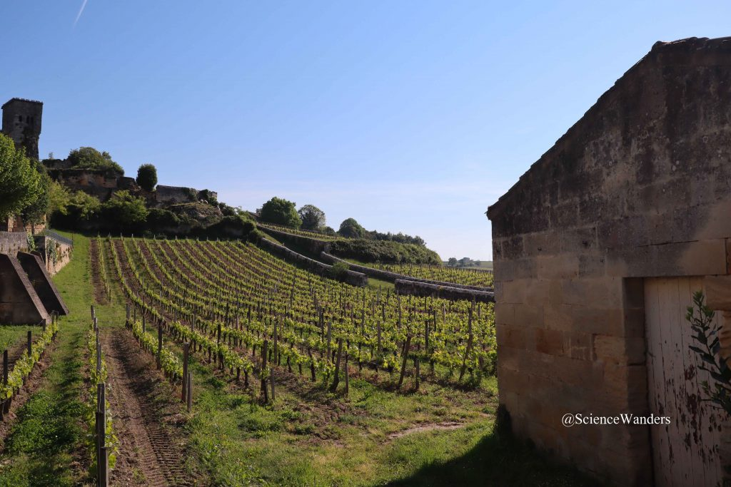 St Emilion vineyard on a slope