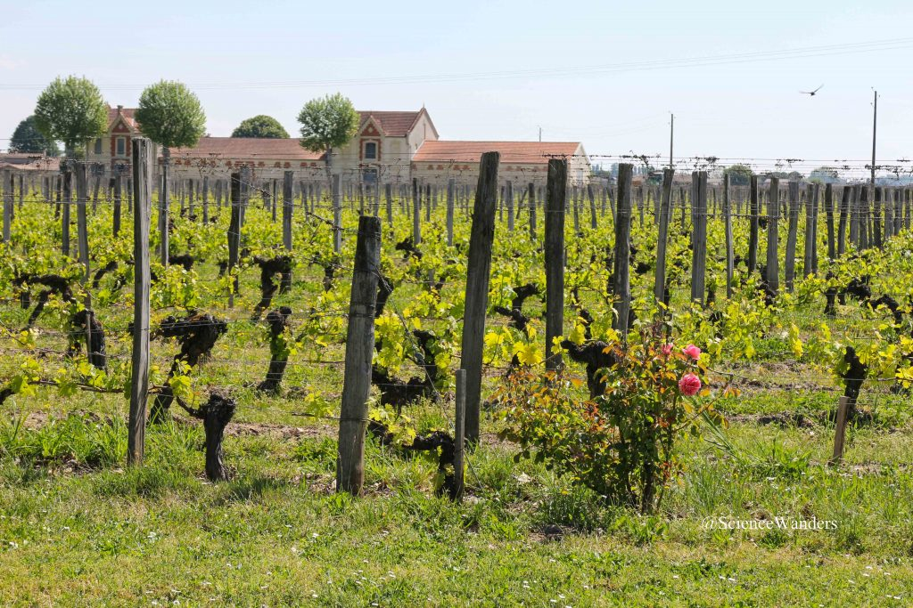 Roses in vineyard, St. Emilion